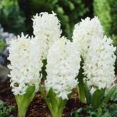 Bulbi de toamna zambile white pearl