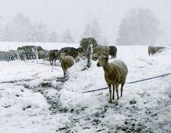 Recomandari de iarna pentru crescatorii de animale