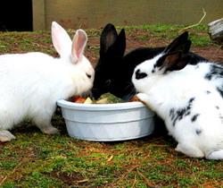 Hrana iepurilor nutreturi in gospodarii