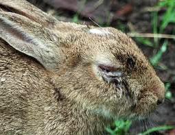 Mixomatoza iepurilor 3