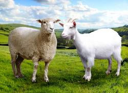 Tehnologii moderne crestere ovine si caprine