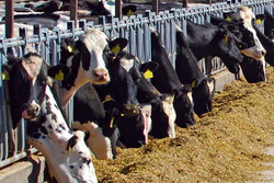 Tehnologii moderne cresterea bovinelor
