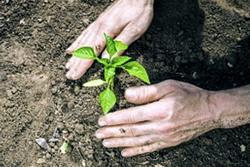 Tratamente plantare rasaduri in camp