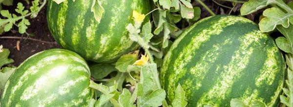 Fertilizarea pepenilor 2