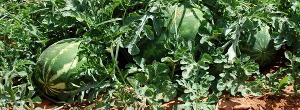 Fertilizarea pepenilor 4