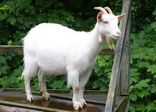 Rasa capre Alba de Banat