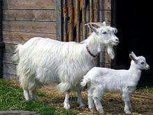 rasa capre locala Carpatina