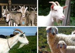 rase capre - Clasificare