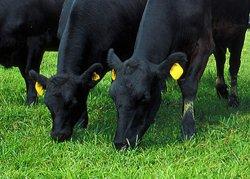 Avantaje crestere vaci carne Angus