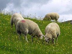 Cerinte nutritionale la ovine