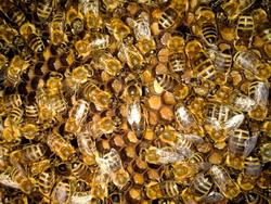 Inmultirea roirea albinelor