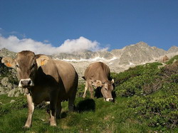 cows-pyrenees resize