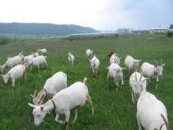 capre-iarba