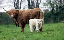 o-vaca-highland-a-nascut-o-vitica-alba- 1 resize