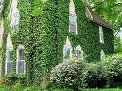 ivy-on-the-houses10-1296884581 resize