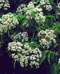 Arborele evodia (copacul de miere)